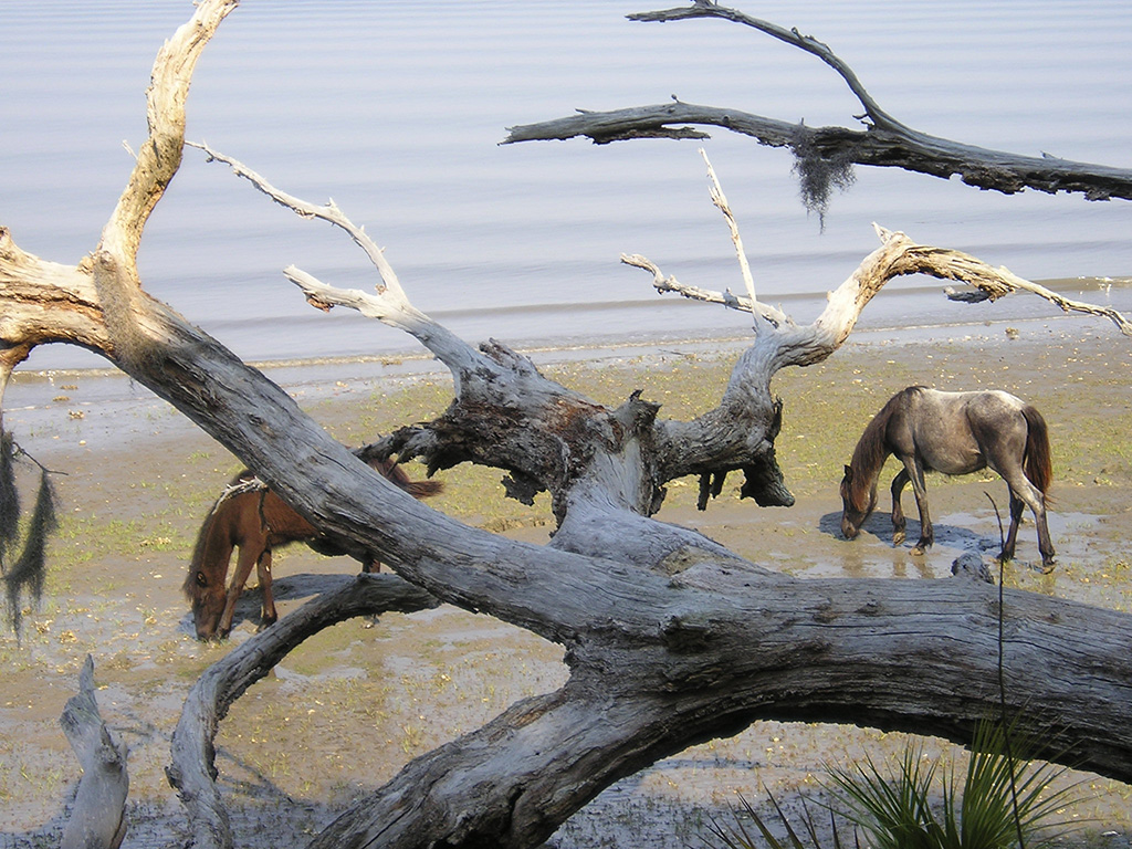 Wild horses on Cumberland Island beach