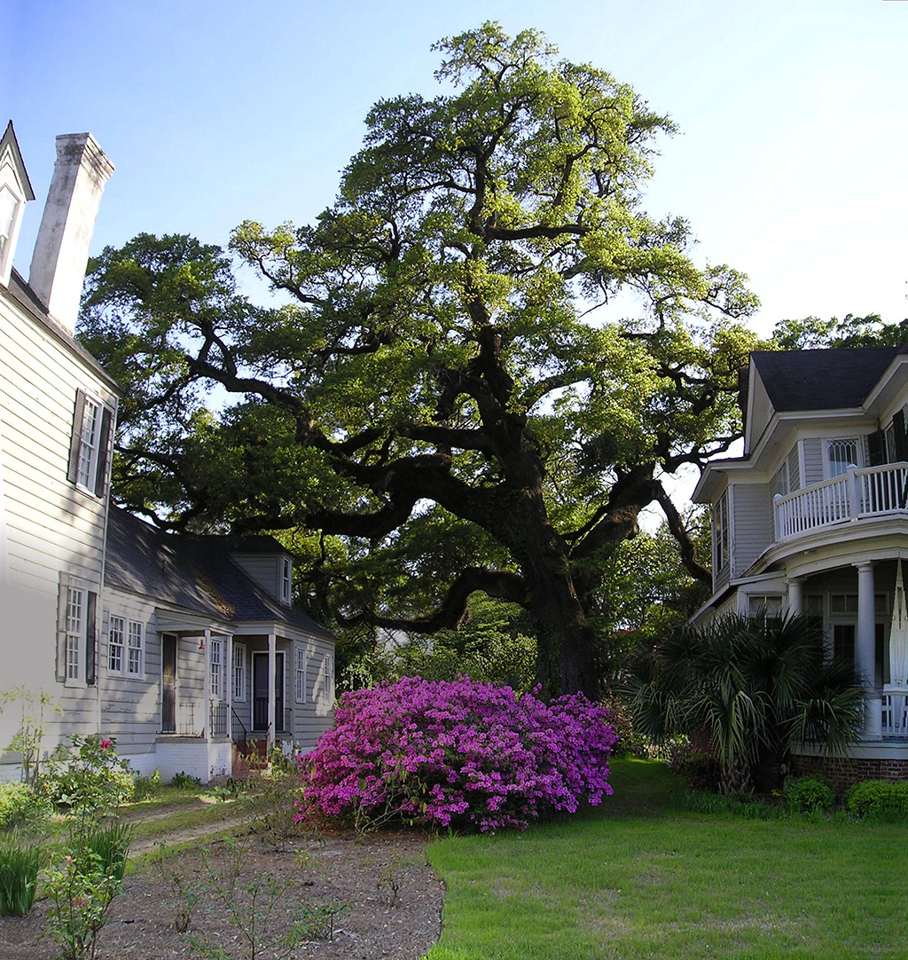 Live Oak in Georgetown