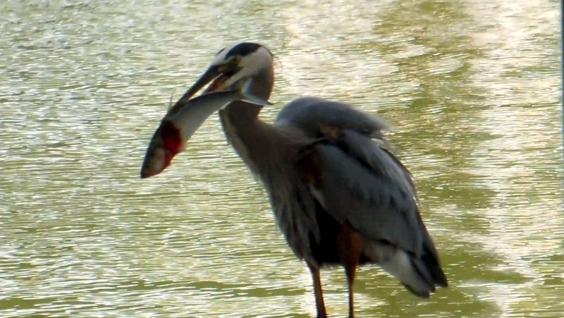 Great Blue Heron Ready to Swallow a Large Fish